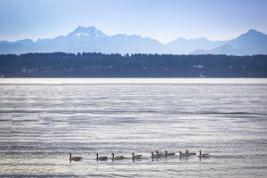 Puget Sound ducks